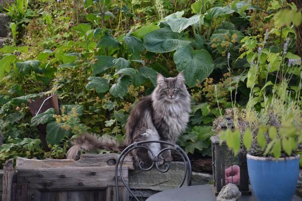 norwegian-forest-cat-1074586_1920