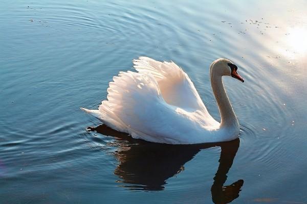 swan-1088384_1920